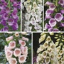 Digitalis Dalmatian Collection