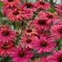 Echinacea Sweet Meadow Mama