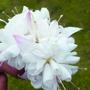 Fuchsia White King (Trailing)