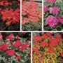 Pelargonium Pelgardini Collection