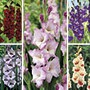 Gladioli Border Collection