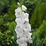 Gladioli White Prosperity
