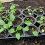 Skelly Tray Growing Pots