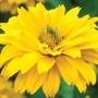 Helopsis scabra Summer Sun