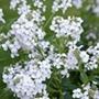 Hesperis matronalis White