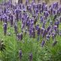 Lavender Blue Spear