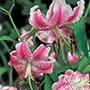 Lilium speciosum var.rubrum