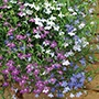 Lobelia Wonderfall Mixed