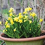 Narcissus 'Tête à Tête'