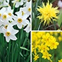 Narcissi Successional Collection