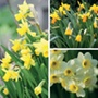 Narcissi Pot Collection