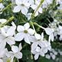 Nicotiana alata grandiflora