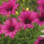 Osteospermum Tresco Purple