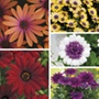 Osteospermum Collection