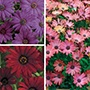 Osteospermum Serenity Collection