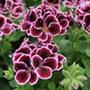 Pelargonium Elegance Imperial