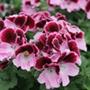 Pelargonium Elegance Janette
