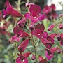 Penstemon 'Raven' AGM