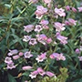 Penstemon 'Sour Grapes' AGM