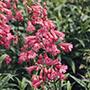 Penstemon Hewell's Pink