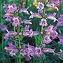 Penstemon Sour Grapes AGM