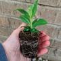 Garden ready plant