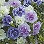 Petunia Tumbelina® Collection
