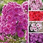 Phlox Plant Collection