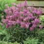 Physostegia Rose Bouquet