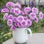 Dianthus Pink Ruffles