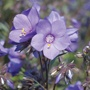 Polemonium Bressingham Purple Plants