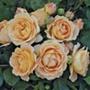 Rose Dolce Vita