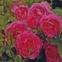 Rose Generation Jardin