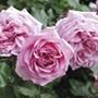 Rose Pompadour