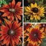 Rudbeckia Smiley Collection