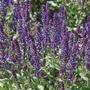 Salvia New Dimension Blue