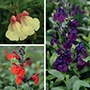 Salvia Plant Collection