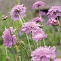 Scabious Kudo Pink
