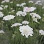 Scabious Kudo White Plants