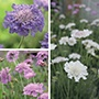 Scabious Collection