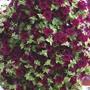 Petunia 'Surfinia Burgundy'