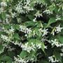 Trachelospermum jasminoides Plants