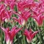 Tulip Madalyn