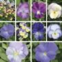 Viola Saver collection