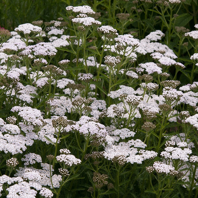 Achillea New Vintaghe White young plants from Woolmans Plants