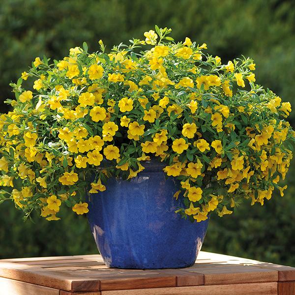 Calibrachoa cabaret deep yellow woolmans - Calibrachoa perenne ...