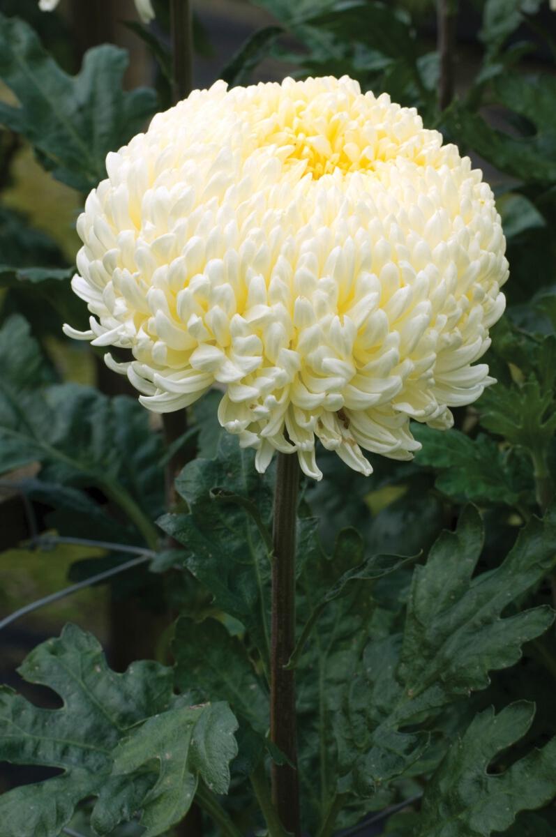 Creamist Whitewoolmans Flower Plants