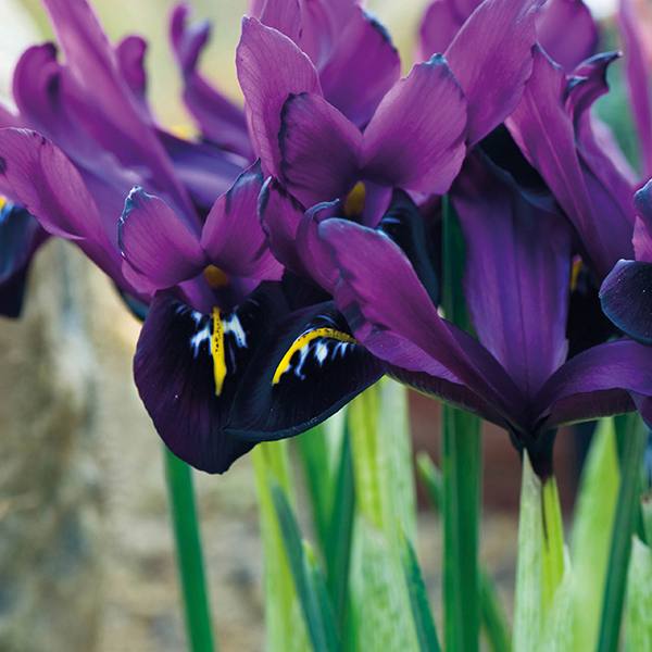 Dwarf Iris George Flower Bulbs From Woolmans