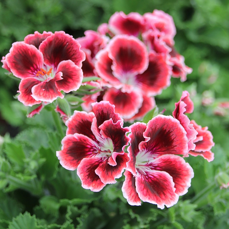 Pelargonium Elegance Adele Plants From Woolmans Flower Plants