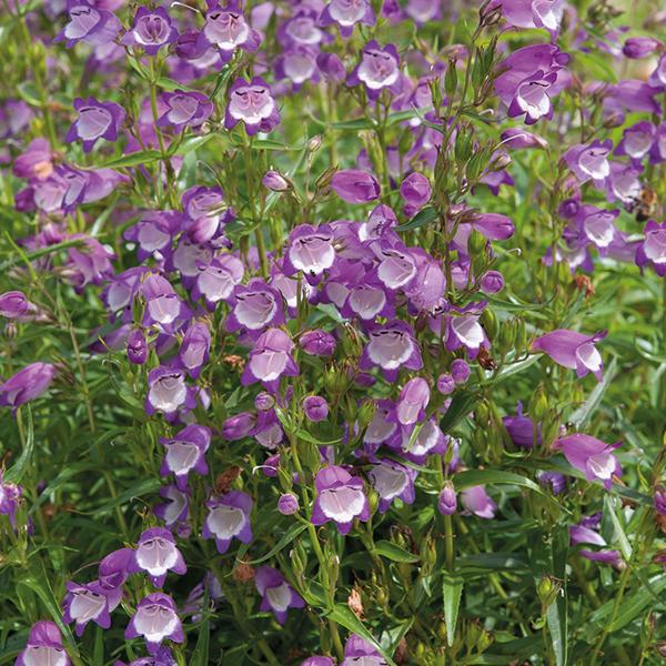 Penstemon Carillo Purple Woolmans